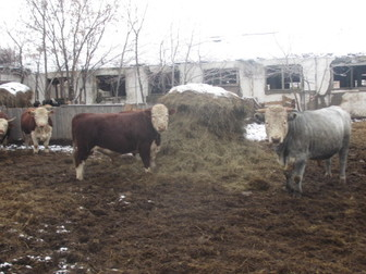 Уникальное изображение  Продаю с/х животных 37423895 в Новосибирске
