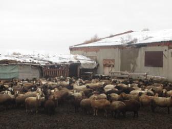 Скачать изображение  Продаю с/х животных 37423895 в Новосибирске