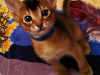 Открыто резервирование! Успейте купить красивого и самого яркого котика(остался последний свободный котик) ??, Красивые Абиссинские котята яркого дикого окраса будут в Новосибирске