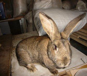 Изображение в Домашние животные Грызуны Продам кроликов мясных пород в возрасте от в Новосибирске 500
