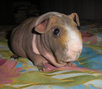 Изображение в Домашние животные Грызуны Продам молодого самца морской свинки скинни. в Новосибирске 1500