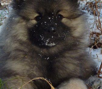 Изображение в Собаки и щенки Продажа собак, щенков Щенки кеесхонда (немецкого вольфшпица) с в Новосибирске 25000