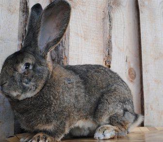 Изображение в   Кролики элитных пород (бельгийский фландр в Новосибирске 1500