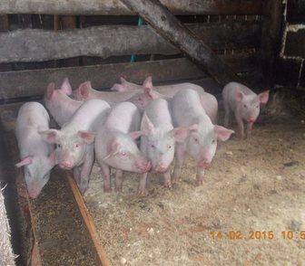 Фотография в Домашние животные Другие животные Всегда в продаже Поросята мясных пород от в Новосибирске 3500