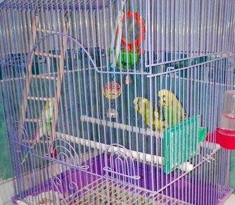 Изображение в   Продам волнистых попугаев , два сальника в Новосибирске 1000