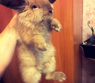 Изображение в Домашние животные Грызуны Возраст около года, мальчик, привит. Тор в Новосибирске 5000