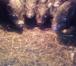 Изображение в Домашние животные Другие животные Всегда в продаже Поросята мясных пород от в Новосибирске 3500