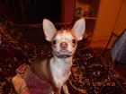 Фото в Собаки и щенки Вязка собак Мальчик чихуахуа 4 года ищет девочку для в Нововоронеже 0