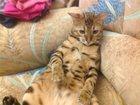 Фотография в   Продам двухлетнего кастрированного кота в в Новом Уренгое 10000