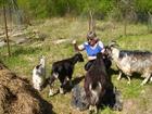 Скачать бесплатно фото  козы, козлята 38624931 в Обнинске