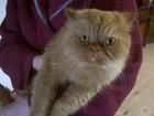 Фото в   Найден кот (похож на перса) рыжий (абрикосовый) в Одинцово 0