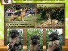 Фотография в Собаки и щенки Продажа собак, щенков Племенной питомник Из Тигровой Династии в Омске 20000