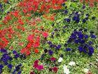 Смотреть foto  Продам петунию 36642458 в Омске