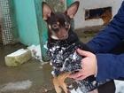 Фотография в Собаки и щенки Вязка собак Ищем невесту для молодого кобеля той-тер в Ржеве 3000