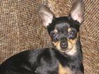 Фотография в Собаки и щенки Вязка собак Молодой красавец с короткими лапками той-терьер в Омске 0