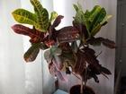 Скачать бесплатно фото Растения Кодиеум 39442786 в Омске