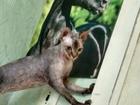 Смотреть фото  Ищем жениха для кошечки Канадик 67377032 в Омске