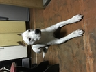 Увидеть изображение Вязка собак Вязка кобеля стаффордширского терьера, 68465195 в Омске