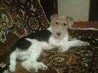 Смотреть foto Вязка собак Вязка Фокстерьера, ищем кобелька 69042865 в Омске