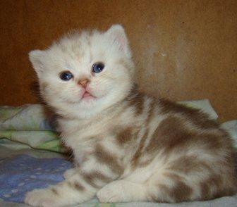Фото в Домашние животные Кошки и котята Предлагаются к продаже великолепные котята в Кемерово 6000