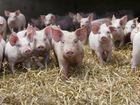 Новое фото Другие животные Поросятана доращивание 34065245 в Опочке