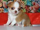 Смотреть изображение  Продаю щенков чихуахуа 32721298 в Орехово-Зуево