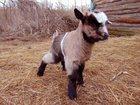 Скачать бесплатно изображение  Козлята от молочной козы 32632381 в Орле