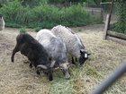 Смотреть фото Другие животные Продам овец, баранов и ягнят романовской породы 32798892 в Орле