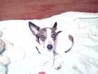 Скачать бесплатно фотографию Вязка собак вязка собак 37740257 в Орле