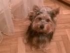Изображение в Собаки и щенки Вязка собак Замечательный самец йоркширского терьера, в Орле 0