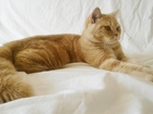 Фото в Кошки и котята Вязка Вязка происходит на территории кота (Ноябрьская в Оренбурге 900