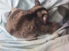 Фотография в Домашние животные Другие животные Продаётся семья сахарных поссумов, по другому в Оренбурге 12000