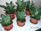 Скачать бесплатно фотографию Растения Комнатное растение Сансевьера Щучий хвост 69707444 в Оренбурге