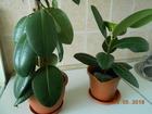 Уникальное фотографию Растения Продаю домашнее растение - Королевский Фикус 69707454 в Оренбурге