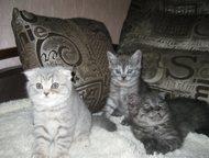 котята продаются Продаются шотландские котята