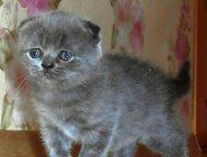 Вислоухие шотландские котята Продаются милые шотландские котята от чистопородных
