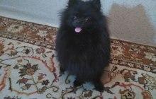 Вязка собак, немецкий шпиц, восемь месяцев
