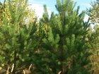Смотреть фотографию Растения Новогодние сосны оптом, Дешево, Доставка 33645550 в Симферополь