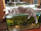 Фото в Кошки и котята Вязка Котан ищет кошку. в Пензе 0