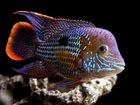 Скачать фотографию Аквариумные рыбки Продам пару цихлид(акара бирюзовая), Цена за пару, 33956078 в Пензе