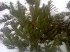 Изображение в Домашние животные Растения Большой выбор живых новогодних сосен. Оптовая в Пензе 70