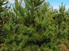 Уникальное foto Растения Новогодние елки оптом Крым 37790939 в Пензе