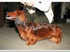 Просмотреть фотографию Продажа собак, щенков вязка такса стандартная 38420505 в Пензе