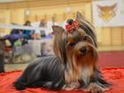 Фотография в Собаки и щенки Продажа собак, щенков Продается породная, красивая девочка йоркширского в Пензе 0