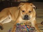 Скачать бесплатно фото Продажа собак, щенков ка де бо 39085843 в Пензе