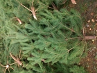 Скачать бесплатно foto  Новогодние сосны оптом! Только опт, 40201119 в Пензе