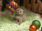 Продаем чудесных британских котят от чистопородных родителей