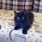 Шотландский котик в добрые руки