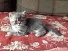 Фотография в Кошки и котята Продажа кошек и котят Предлагаем вам замечательных котят экзотической в Перми 2300