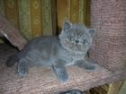 Фотография в Кошки и котята Продажа кошек и котят Продается девочка голубого окраса экстремального в Перми 3000